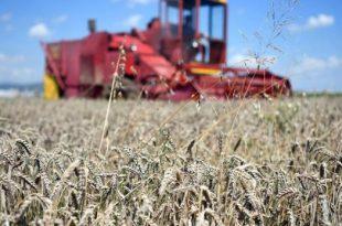 Sipas statistikave spërfaqet e mbjella me grurë në Kosovë janë përgjysmuar gjatë gjashtë vjetëve të fundit